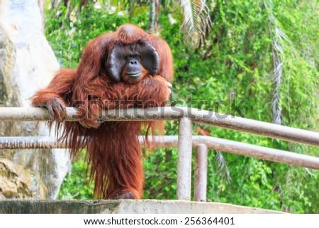 Bornean orangutan(Pongo pygmaeus) in Thailand ( Found it at Borneo island , Sumatra island in Indonesia ) - stock photo