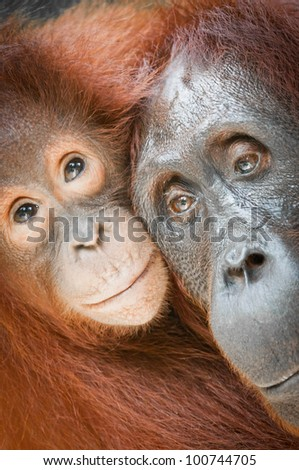 Bornean Orangutans - Mother and Baby, Tanjung Puting National Park, Kalimantan, Borneo. Vertical format with the subject filling the frame. - stock photo