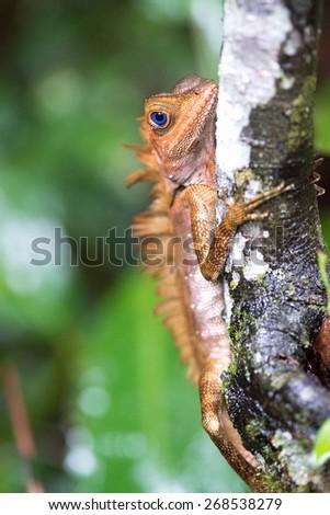 Borneo Anglehead Agamid Lizard (Gonocephalus belli), Borneo, Malaysia - stock photo
