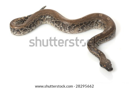 Borneo Black Blood Python (Python curtus breitensteini) isolated on white background.