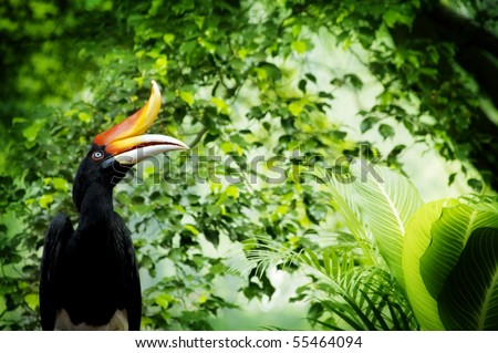 Borneo exoctic great hornbill in tropical rainforest, Malaysia. - stock photo