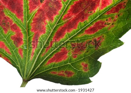 boston ivy leaf with turning colors of fall - stock photo
