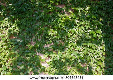 Boston ivy on the wall - stock photo