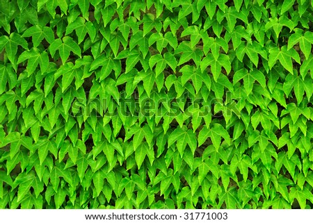 Boston Ivy on wall