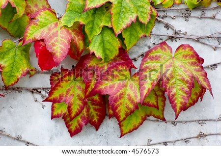 Boston Ivy (Parthenocissus tricuspidata) on a concrete wall, turning bright Autumn colors
