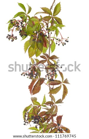 Boston ivy with fruits (Parthenocissus tricuspidata)on white background