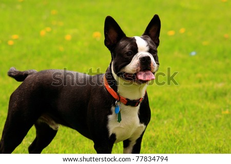 boston terrier - stock photo
