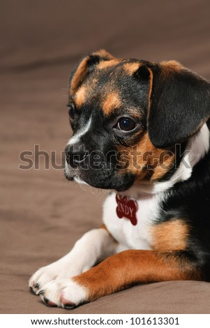 Boston Terrier and Beagle cross puppy