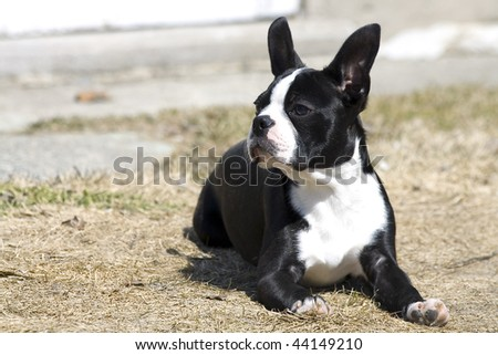 Boston Terrier checking things out! - stock photo
