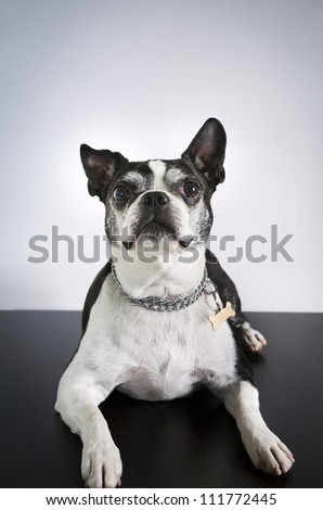 Boston Terrier Close up over gray background - stock photo