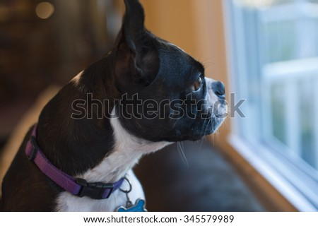 Boston terrier dog eagerly awaits owners at the window.