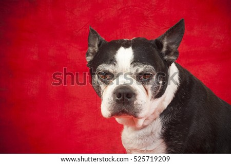 Boston terrier dog in front of red background
