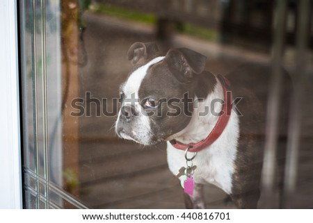 Boston terrier dog looking out the window - stock photo