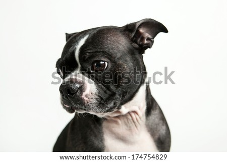 Boston terrier dog looking to the side