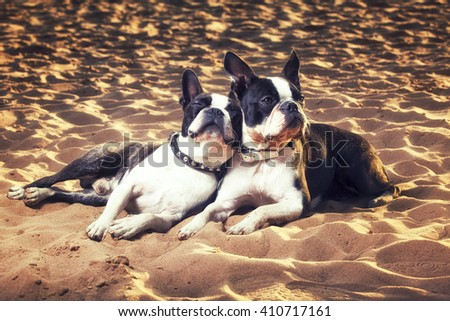 Boston terrier dogs laying on sand on sunny day, puppy love - stock photo