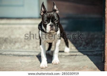 Boston Terrier Fina ready to go out for a walk on a sunny day - stock photo