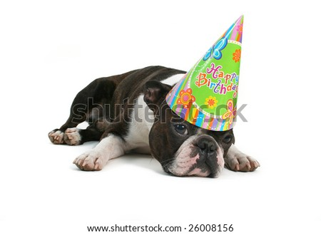 boston terrier in a birthday hat - stock photo