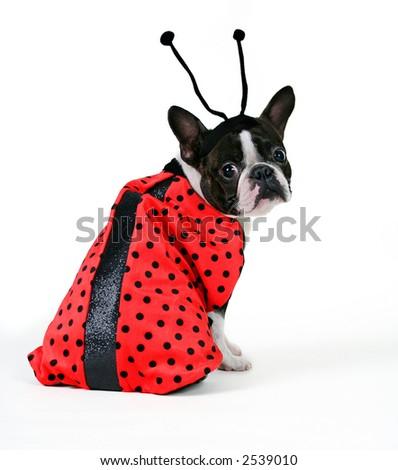 Boston Terrier in ladybug costume - stock photo