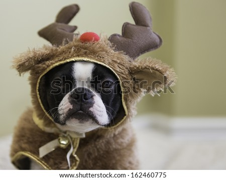 Boston Terrier in Reindeer Costume - stock photo