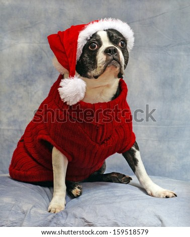 Boston Terrier is dressed for Christmas in a red sweater and santa hat - stock photo