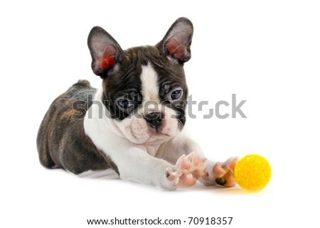 Boston Terrier, isolated on a white background.