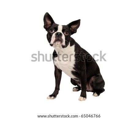 boston terrier isolated on white - stock photo