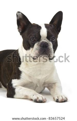 boston terrier isolated on white background - stock photo