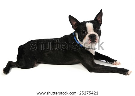 Boston Terrier laying down over a white background - stock photo