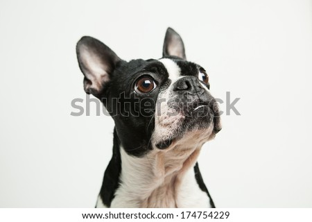 Boston Terrier looking to the side - stock photo