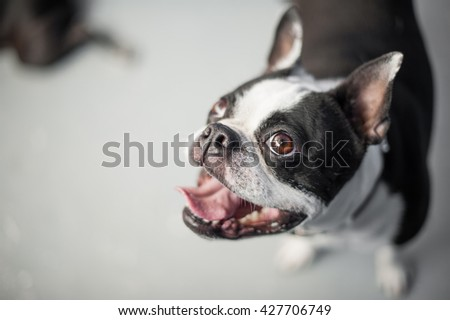 Boston terrier looking up at the camera while standing on a neutral floor. The dog has a gleeful expression on its black and white face. - stock photo