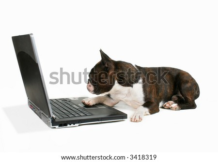 boston terrier on a laptop - stock photo