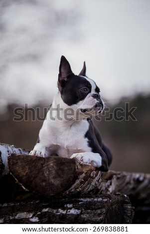boston terrier posing outside - stock photo
