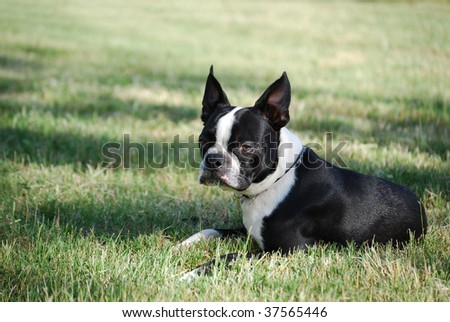 Boston Terrier Puppy - stock photo