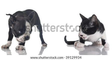 Boston Terrier puppy and kitten isolated on white. - stock photo