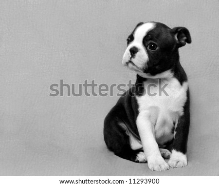 Boston Terrier Puppy Black and White - stock photo