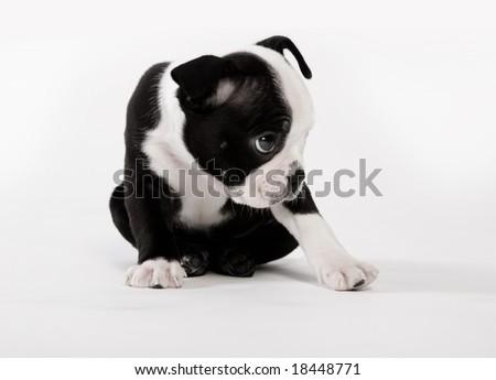 Boston Terrier Puppy Dog - stock photo