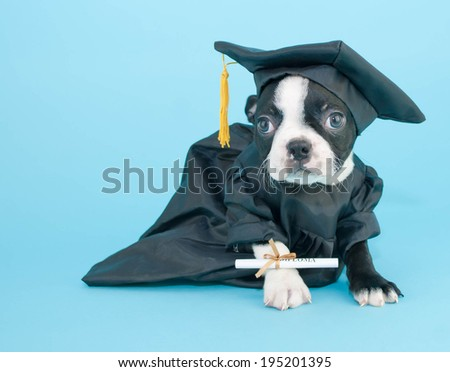 Boston Terrier puppy dressed in a cap and gown that looks like he is ready for graduation.