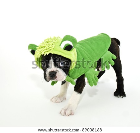 Boston Terrier puppy dressed up in a frog outfit on a white background. - stock photo