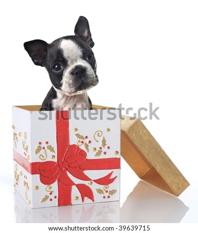Boston Terrier puppy in a Christmas gift box. - stock photo
