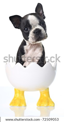 Boston Terrier puppy in a cracked egg Easter dish. - stock photo