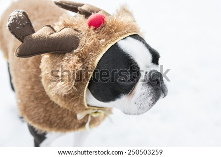 Boston Terrier Puppy in Reindeer Christmas Costume - stock photo