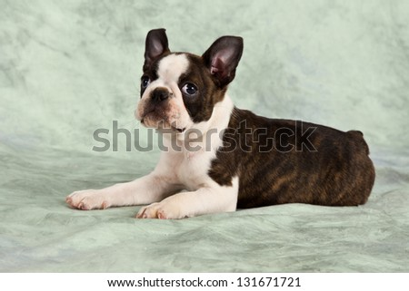 Boston terrier puppy lay down in studio cute resting look up - stock photo