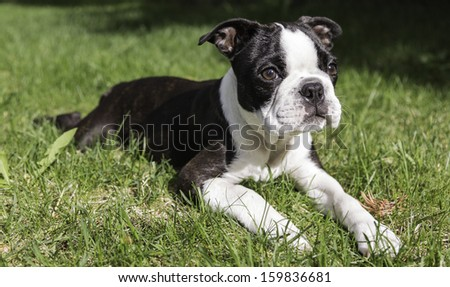 Boston Terrier Puppy on Grass - stock photo
