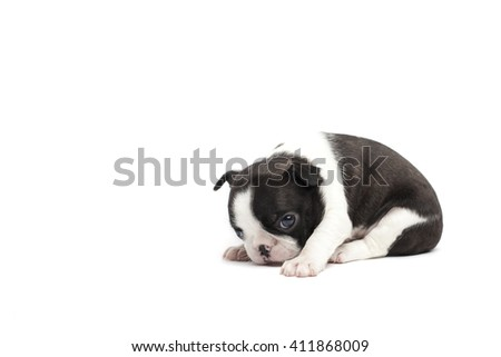 Boston terrier puppy  on the white background isolated - stock photo
