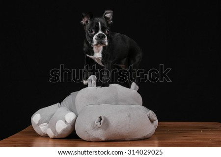 Boston terrier puppy playing with soft hippo in studio - stock photo