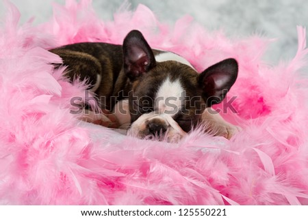 Boston terrier puppy sleep among pink feathers tired