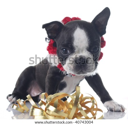 Boston terrier puppy wearing a Christmas collar, playing with ribbons. - stock photo
