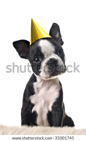 Boston terrier puppy, with party hat, isolated on white. - stock photo