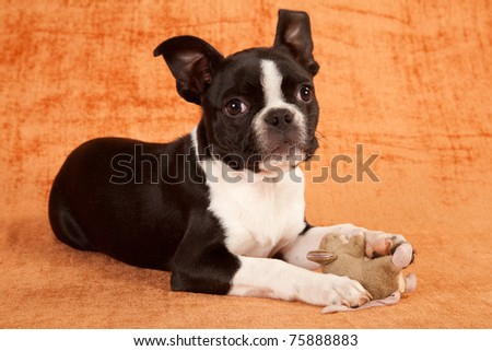 Boston Terrier puppy with toy on brown background - stock photo