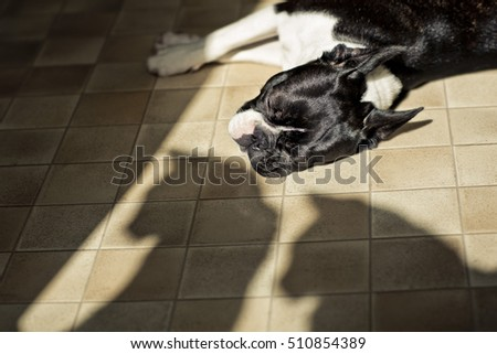 Boston Terrier relaxing in the sun with 2 cat shadows of cats watching him suspiciously